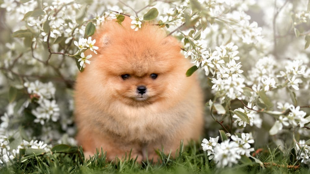 Fluffy Pomeranian Outside