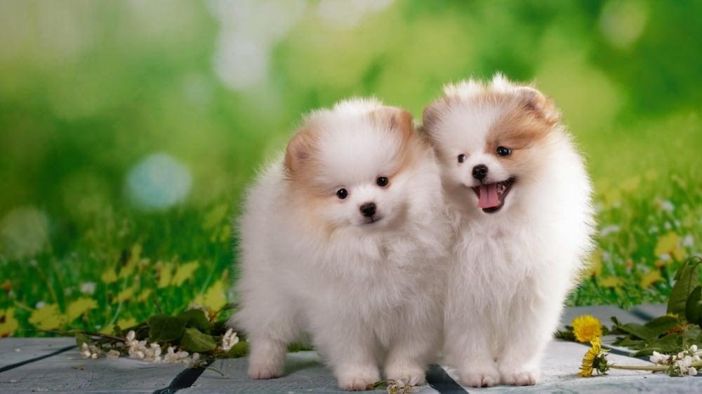 Fluffy Pomeranian Puppies