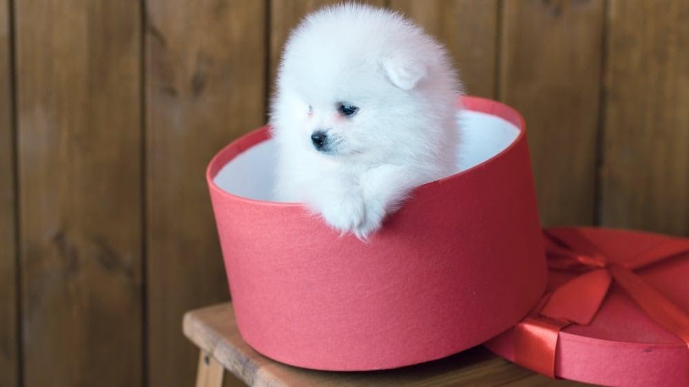 Fluffy Pomeranian in a Box