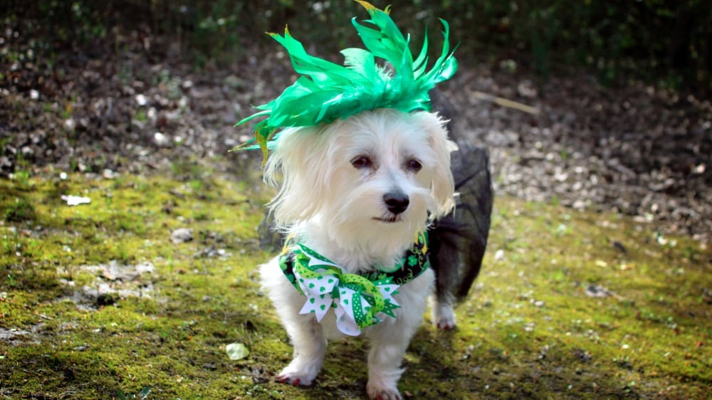 Funny Havanese Puppy Green Hat