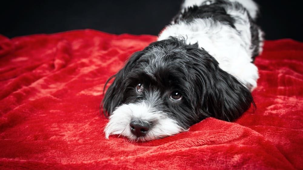 Funny Havanese Puppy Sad Eyes
