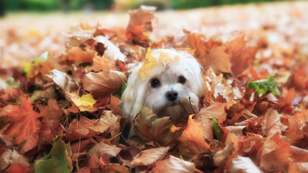Funny Havanese Puppy in the Leaves