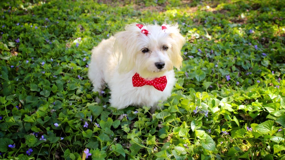 Funny Havanese Puppy with Bowtie