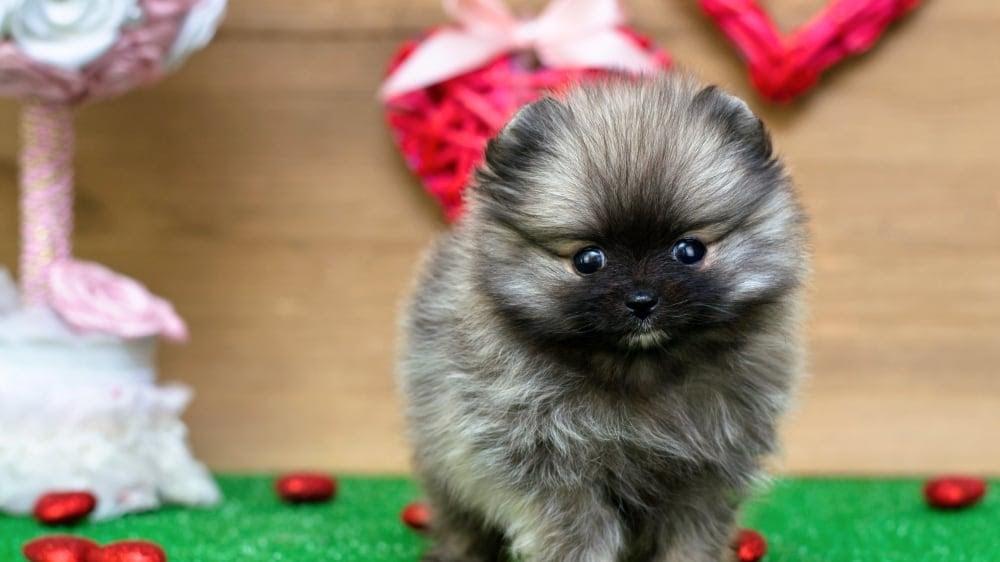 Funny Pomeranian Inside
