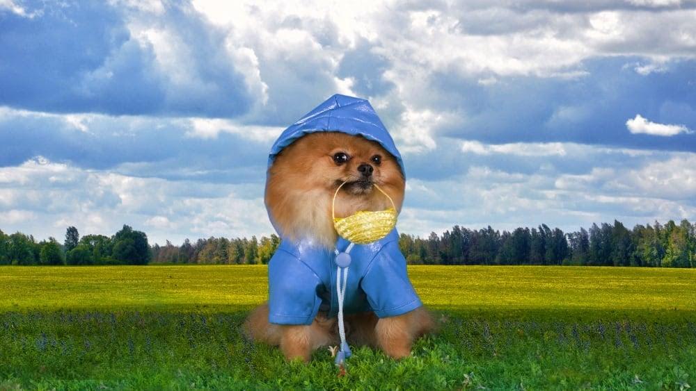 Funny Pomeranian Ready for Rain