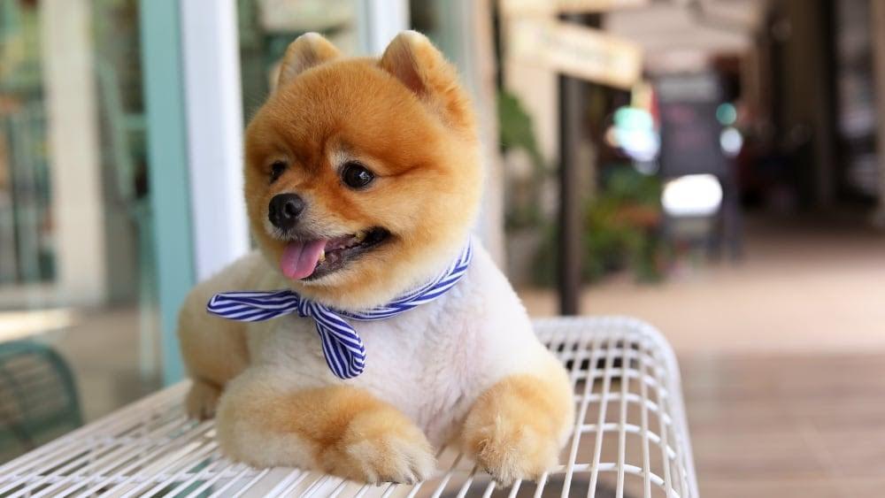 Funny Pomeranian Sitting on Bench