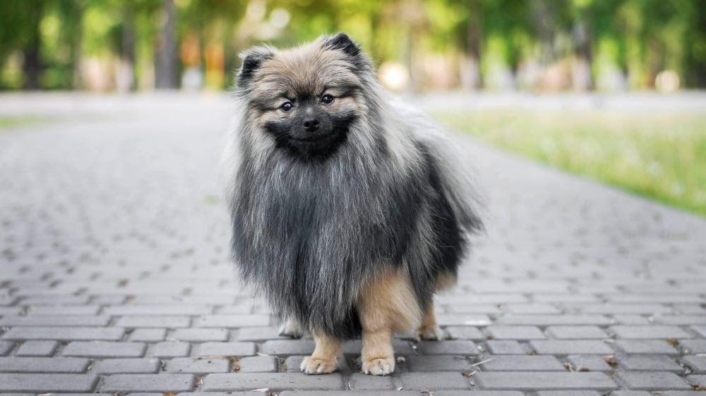 Funny Pomeranian at the Park