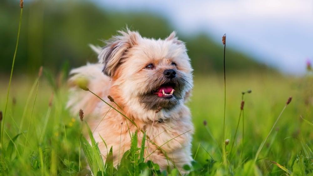 Happy Havanese Puppy in the Park