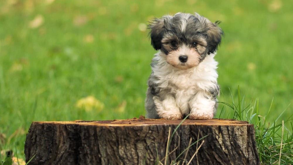 Happy Havanese Puppy On Stump