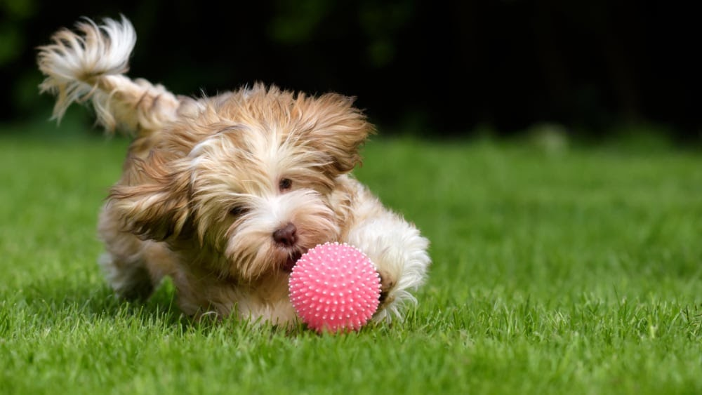 Havanese Puppies Chasing a Ball