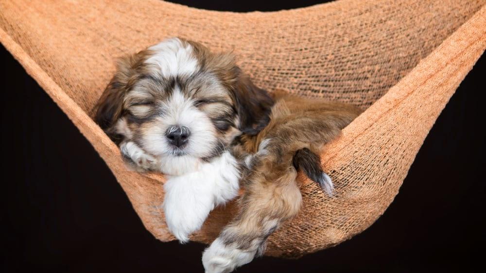 Havanese Puppy Sleeping in Hammock