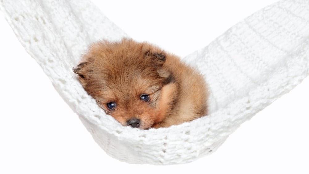 Pomeranian Puppy in a Hammock