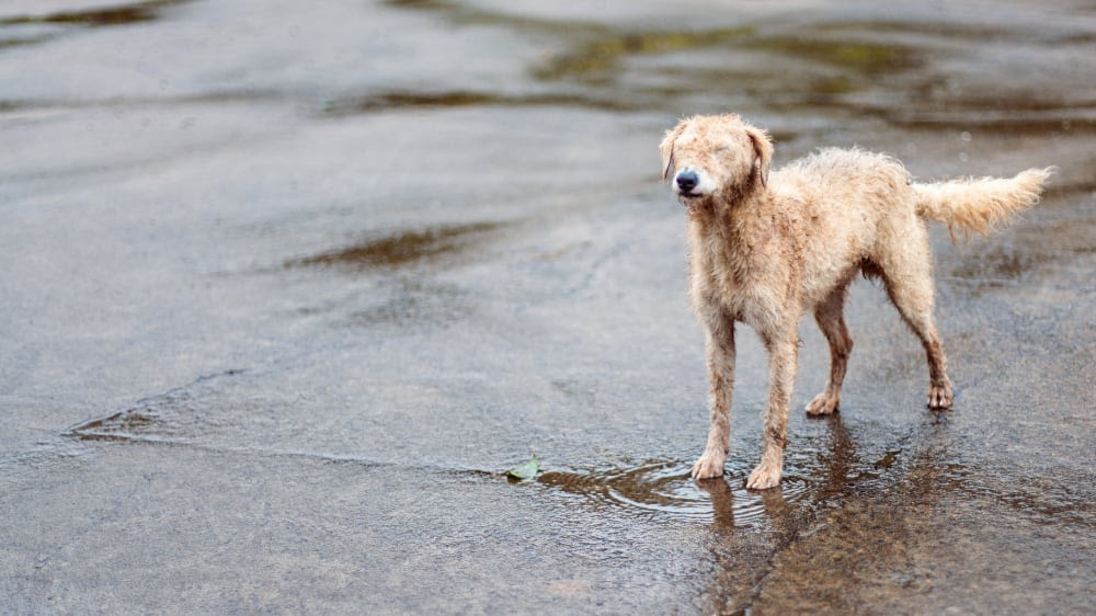 Poodle Coat for the Water