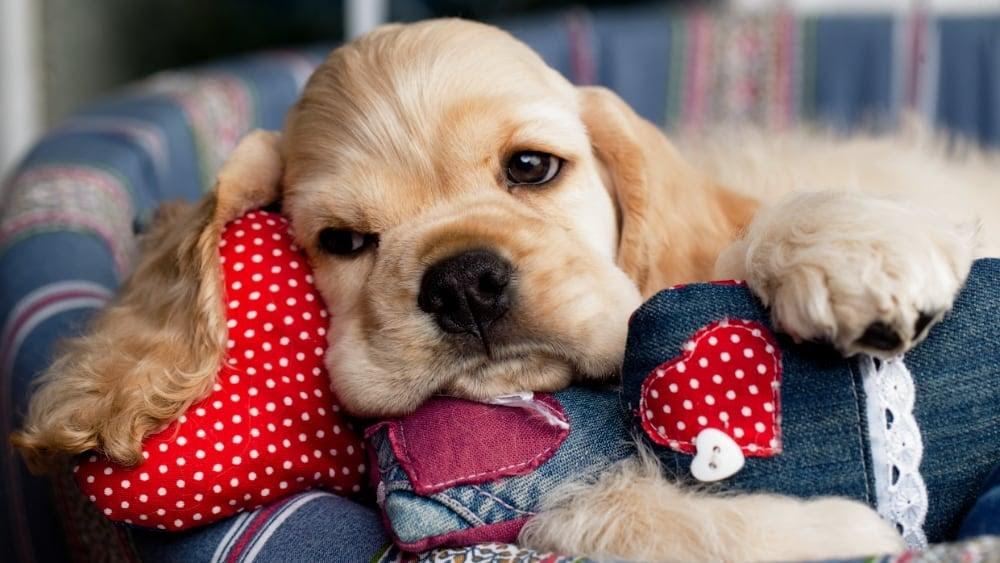 Sleepy Havanese Puppy