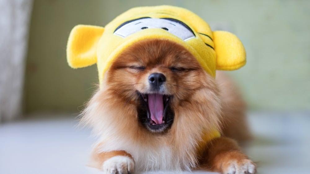 Sleepy Pomeranian Puppy