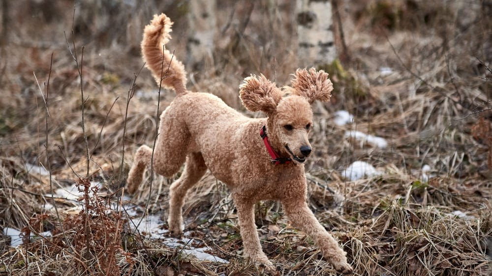 The Basics of Training a Poodle to Hunt