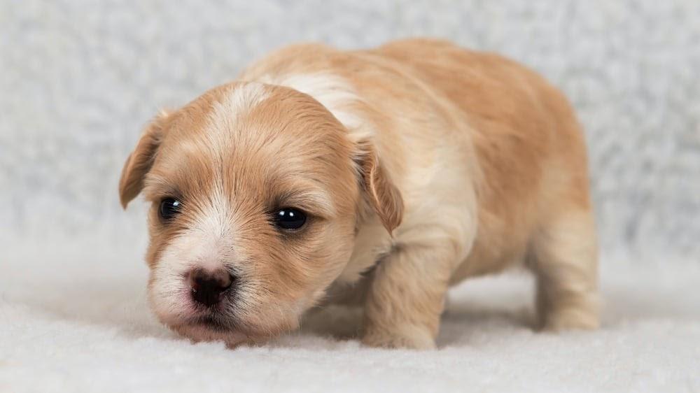 Tiny Havanese Puppy Going to Sleep