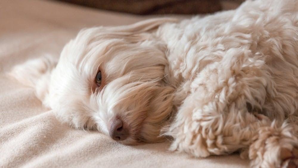 Tired Havanese Puppy