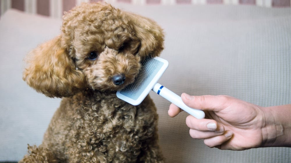 Are Poodles Really Hypoallergenic