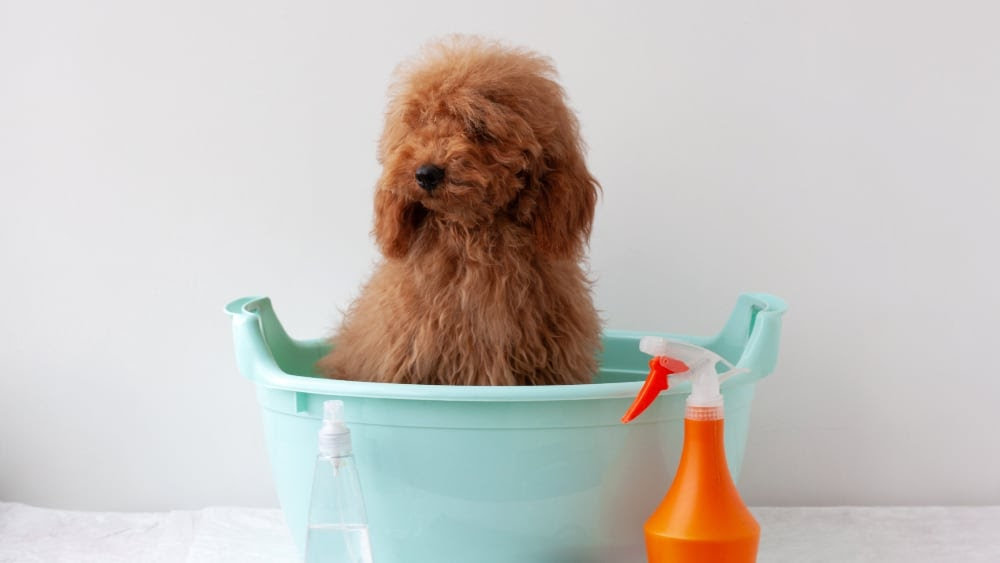 Bathing Your Poodle